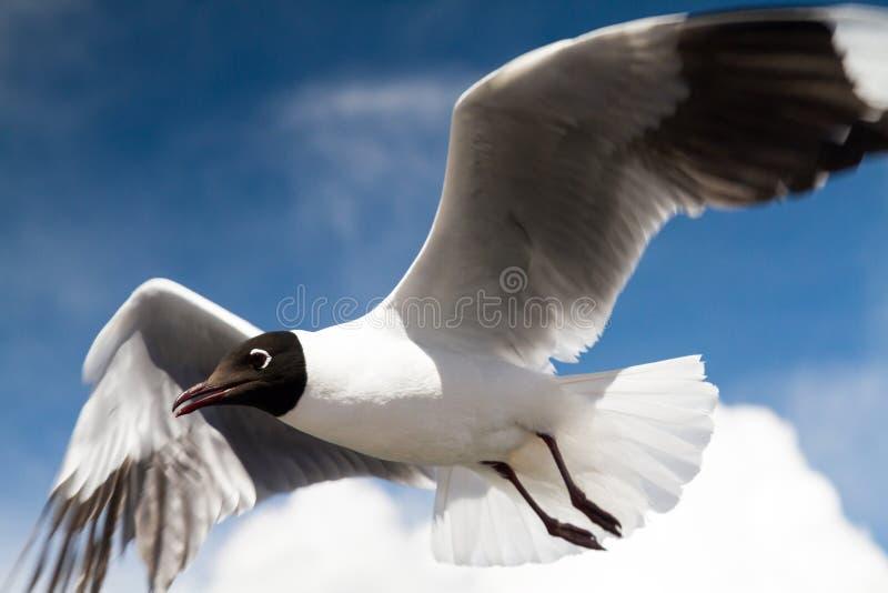 Feche acima de uma gaivota andina do voo imagens de stock