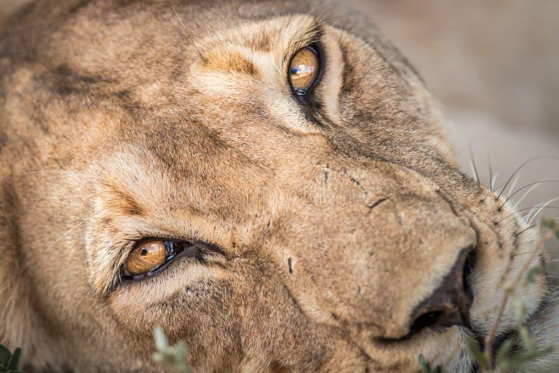 Feche acima de uma leoa fotografia de stock royalty free