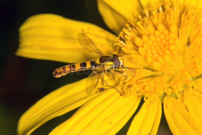 Feche acima de uma mosca pequena que aprecia o néctar imagem de stock royalty free