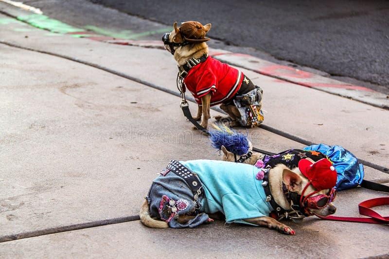 Feche acima de uma opini?o dois c?es bonitos pequenos nos trajes que encontram-se no asfalto Las Vegas Fundo agrad?vel da naturez fotografia de stock