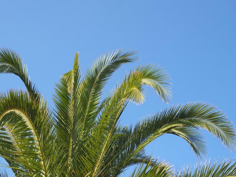 Feche acima de uma parte superior tropical vibrante verde-clara da palmeira com frondas contra um céu ensolarado do verão azul br imagens de stock