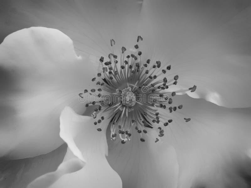 Feche acima de uma Rosa branca fotografia de stock royalty free