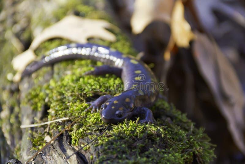 Salamandra manchada em um registro foto de stock royalty free