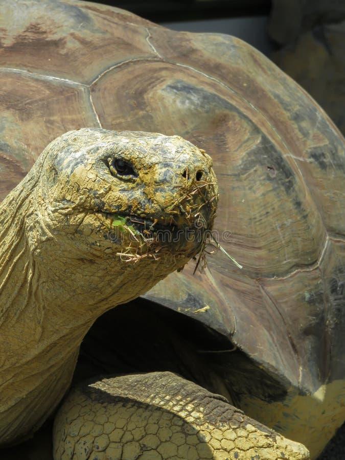 Feche acima de uma tartaruga de Galápagos imagens de stock