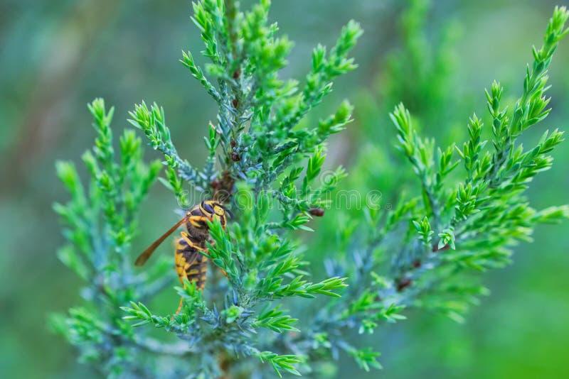 Feche acima de uma vespa em um cipreste fotos de stock