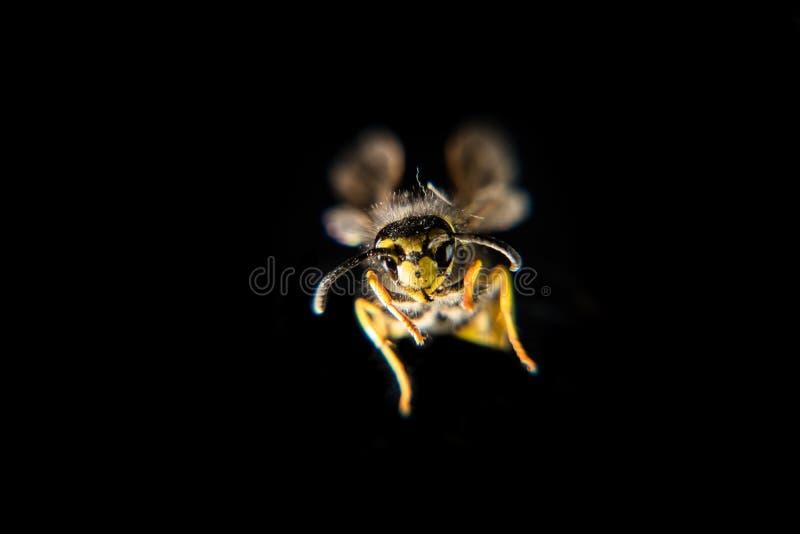 Feche acima de uma vespa europeia imagem de stock