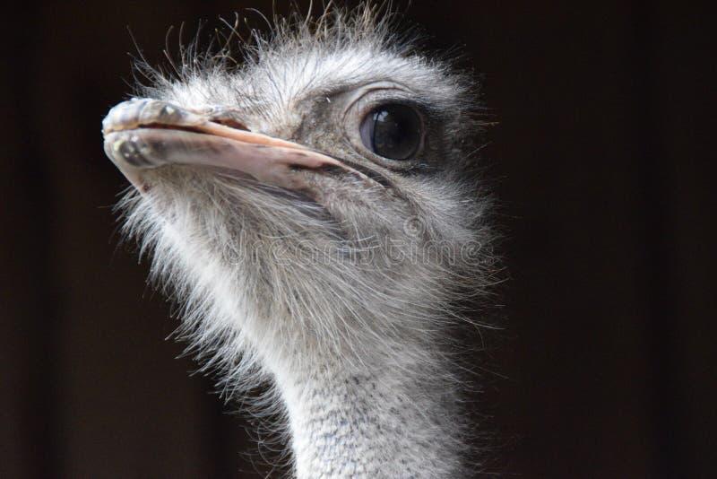 Feche acima de uma vista bonita da avestruz fotografia de stock