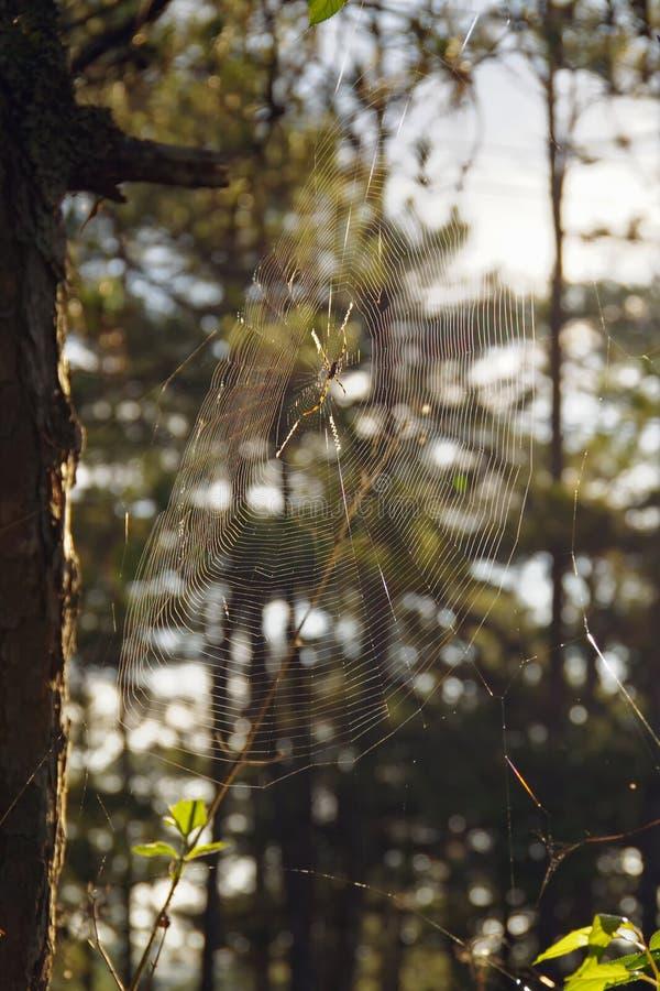 Feche acima de uma Web de aranha com gotas da água, orvalho imagens de stock royalty free