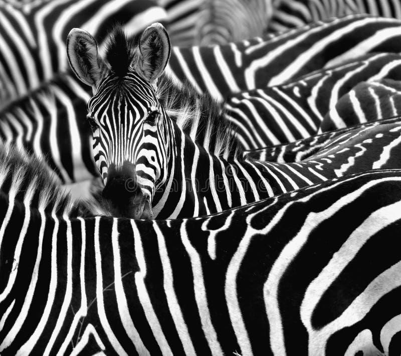 Feche acima de uma zebra cercada com seu rebanho fotografia de stock