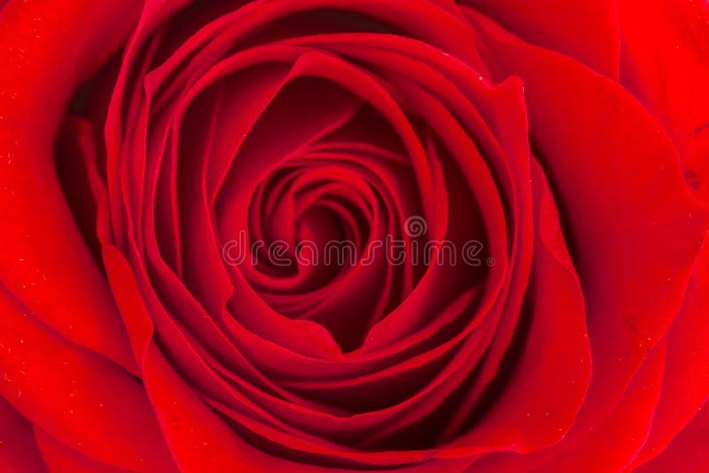 Feche acima dentro da rosa do vermelho imagens de stock royalty free