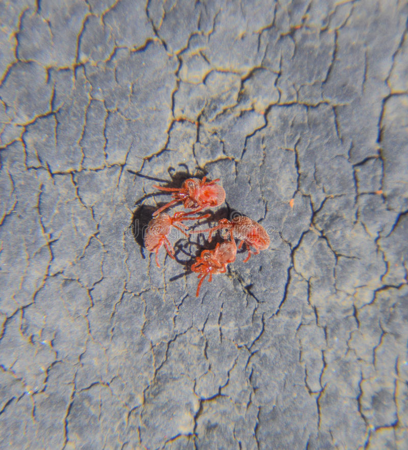 Feche acima do ácaro ou do Trombidiidae vermelho macro de veludo imagem de stock