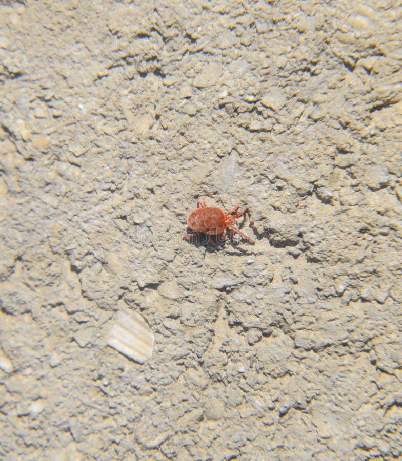 Feche acima do ácaro ou do Trombidiidae vermelho macro de veludo foto de stock