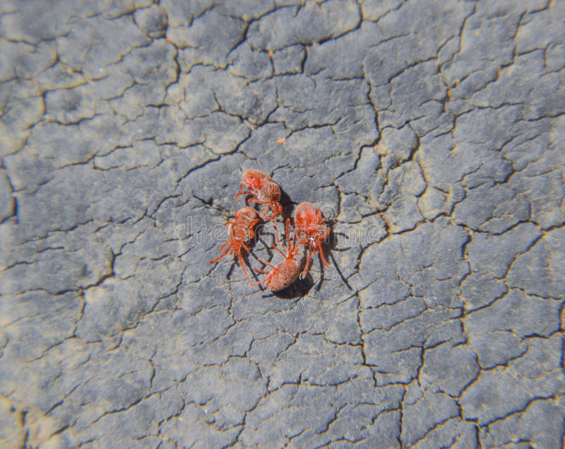 Feche acima do ácaro ou do Trombidiidae vermelho macro de veludo fotos de stock