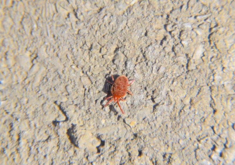 Feche acima do ácaro ou do Trombidiidae vermelho macro de veludo fotografia de stock