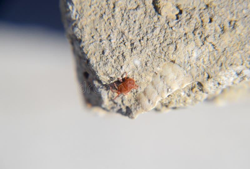 Feche acima do ácaro ou do Trombidiidae vermelho macro de veludo imagens de stock