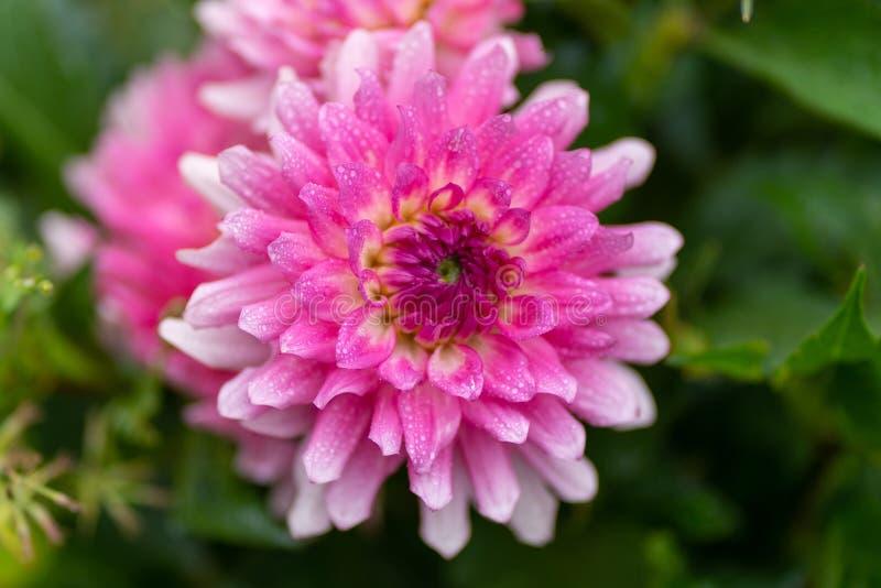 Feche acima do áster cor-de-rosa com gotas da chuva no foco macio fotos de stock royalty free