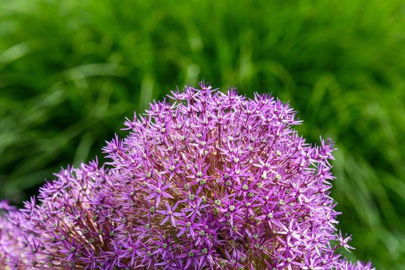 Feche acima do Allium roxo na flor contra um fundo verde borrado do jardim imagem de stock royalty free
