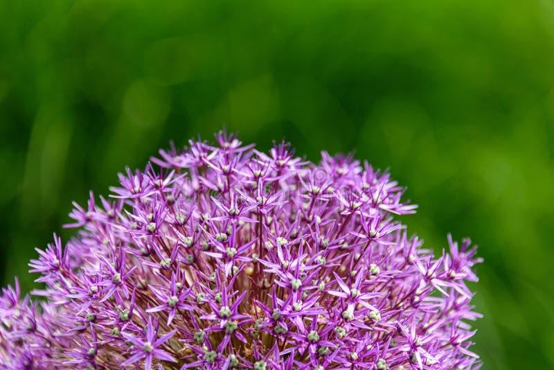 Feche acima do Allium roxo na flor contra um fundo verde borrado do jardim fotos de stock