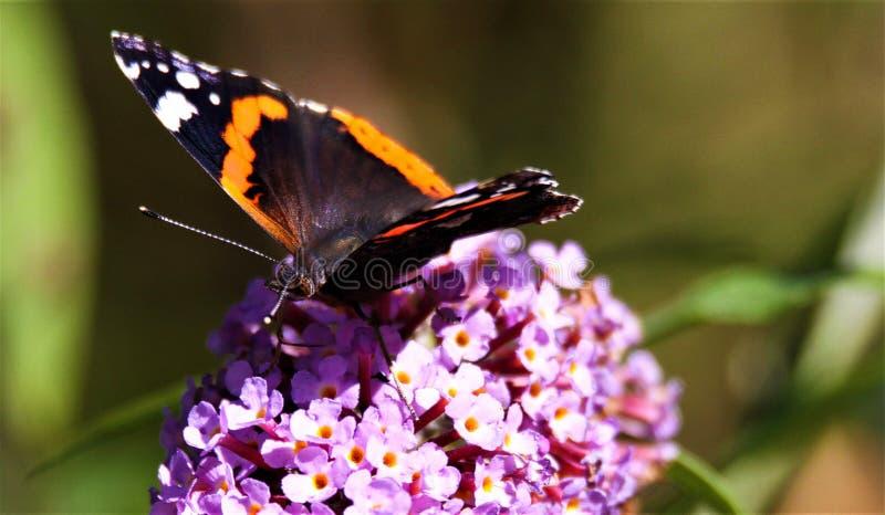 Feche acima do almirante isolado Vanessa Atalanta da borboleta no Syringa lilás cor-de-rosa da flor vulgar com fundo borrado verd fotos de stock