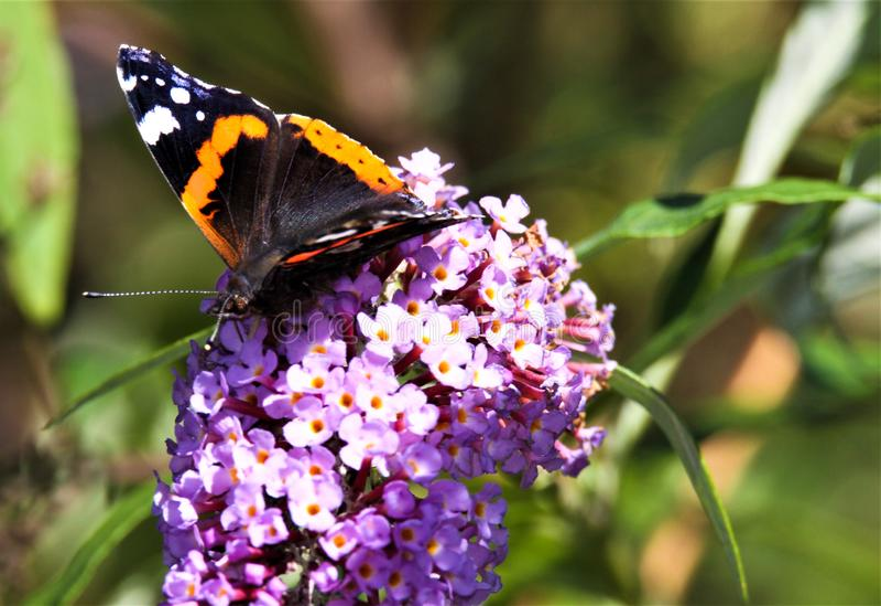 Feche acima do almirante isolado Vanessa Atalanta da borboleta no Syringa lilás cor-de-rosa da flor vulgar com fundo borrado verd foto de stock
