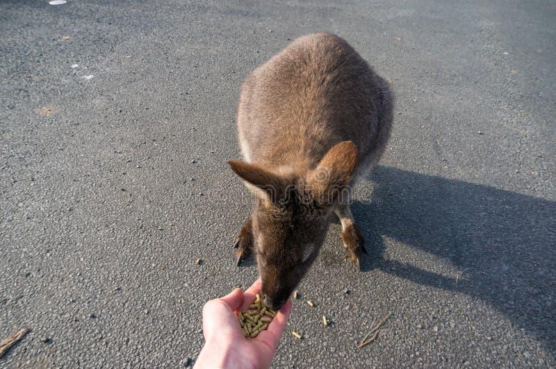 Feche acima do animal selvagem do ualabi que come da mão foto de stock royalty free