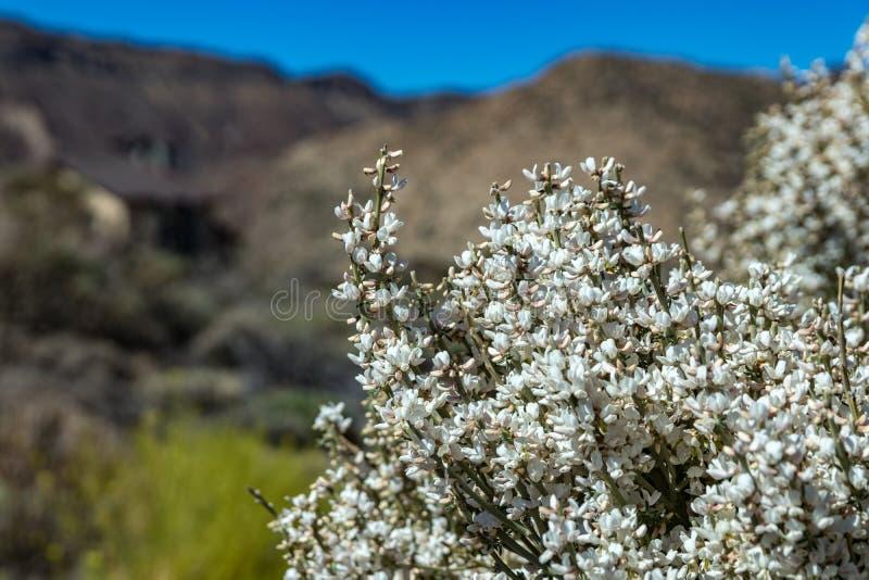 Feche acima do arbusto endêmico de florescência Flores brancas de rhodorhizoides do Retama Parque nacional Teide, Tenerife, Ilhas imagens de stock royalty free