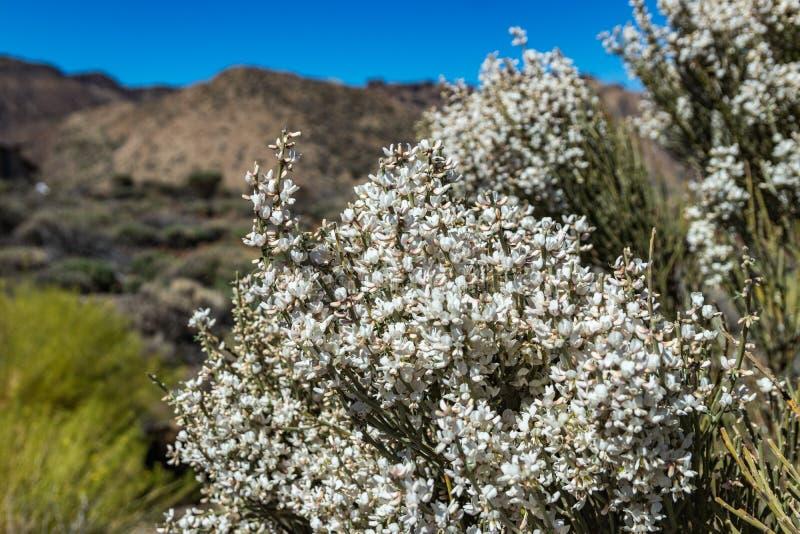 Feche acima do arbusto endêmico de florescência Flores brancas de rhodorhizoides do Retama Parque nacional Teide, Tenerife, Ilhas imagem de stock