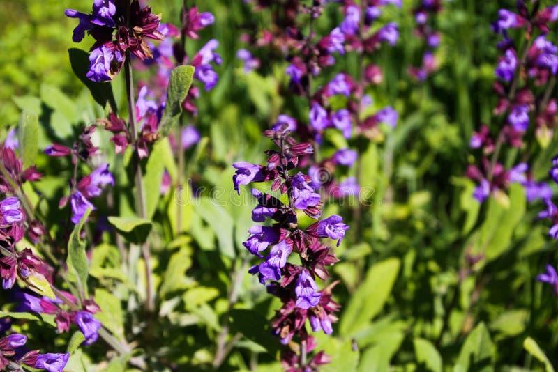 Feche acima do arbusto prudente de florescência da planta do salvia na cama do jardim, Alemanha imagem de stock
