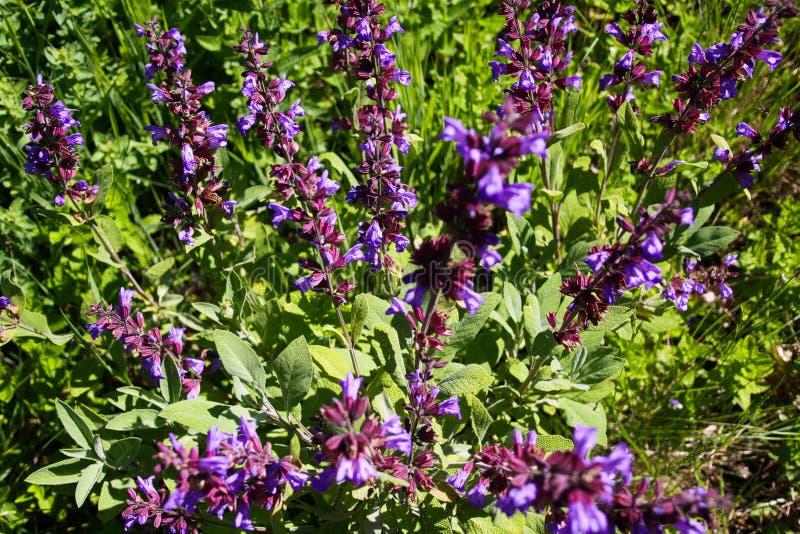 Feche acima do arbusto prudente de florescência da planta do salvia na cama do jardim, Alemanha foto de stock