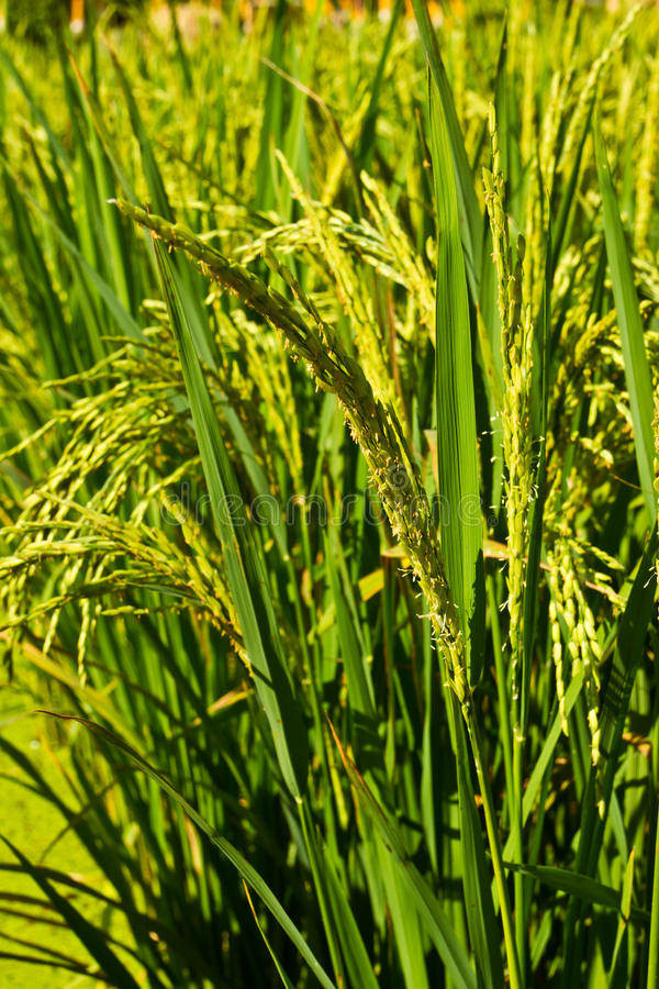 Feche acima do arroz no campo imagem de stock royalty free