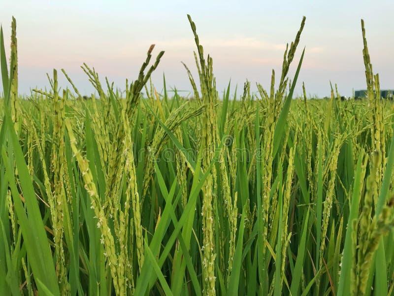 Feche acima do arroz 'paddy' verde, campo do arroz 'paddy' do borrão imagem de stock