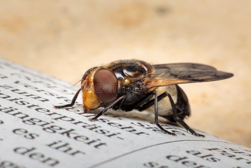 Feche acima do assento transparente dos pellucens de Volucella hoverfly no jornal com fundo e copyspace marrons brilhantes imagem de stock royalty free
