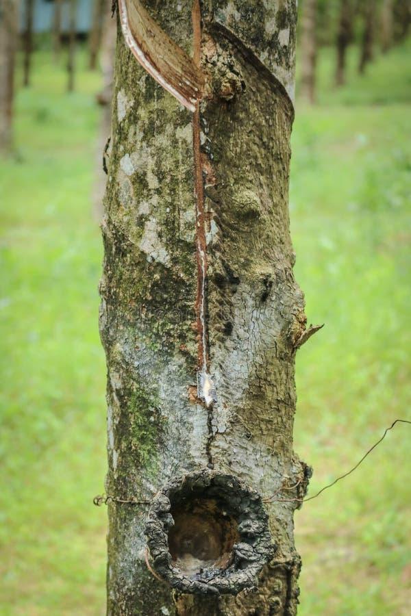 feche acima do brasiliensis da árvore da borracha ou da hévea fotos de stock