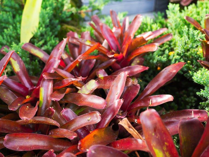 Feche acima do Bromeliaceae vermelho da bromeliácea foto de stock royalty free