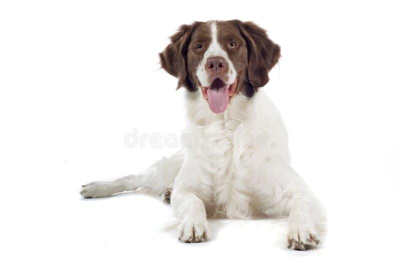 Feche acima do cão de caça imagens de stock royalty free