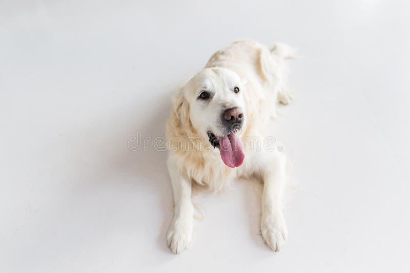 Feche acima do cão do golden retriever que encontra-se no assoalho fotografia de stock royalty free