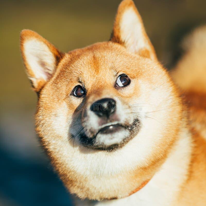 Feche acima do cão vermelho novo engraçado bonito de Shiba Inu imagem de stock royalty free