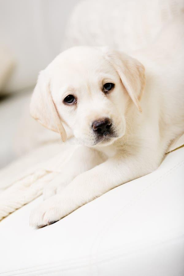 Feche acima do cachorrinho bonito que encontra-se no sofá foto de stock
