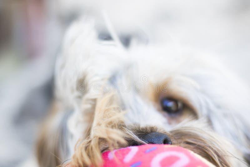 Feche acima do cachorrinho bonito do yorkshire terrier que joga com brinquedo imagens de stock royalty free