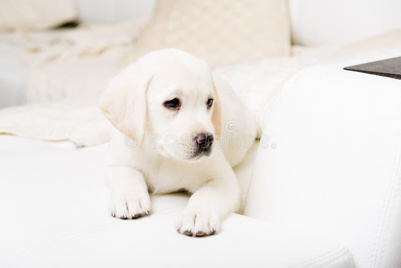 Feche acima do cachorrinho branco que encontra-se no sofá imagem de stock
