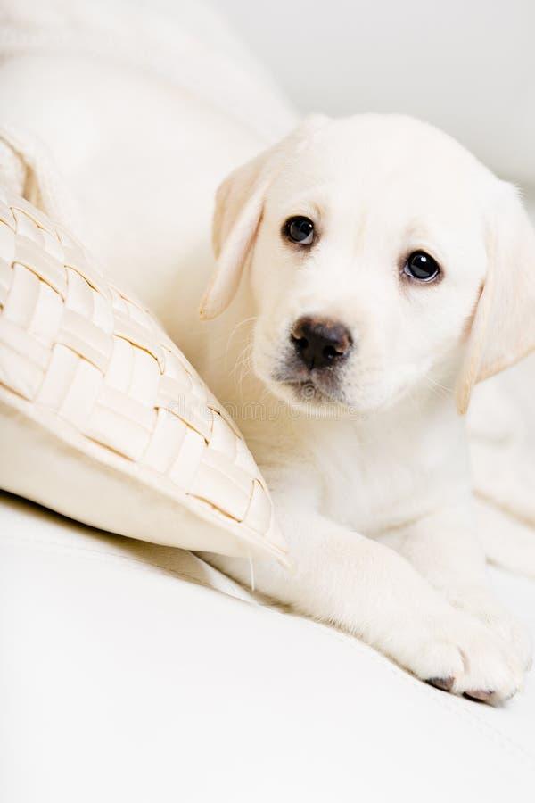 Feche acima do cachorrinho de Labrador que encontra-se no sofá imagens de stock royalty free