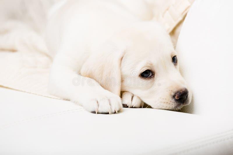 Feche acima do cachorrinho do puro-sangue que encontra-se no sofá fotos de stock