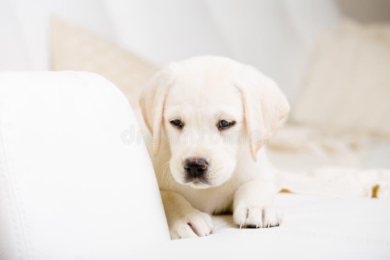 Feche acima do cachorrinho que encontra-se no sofá fotografia de stock