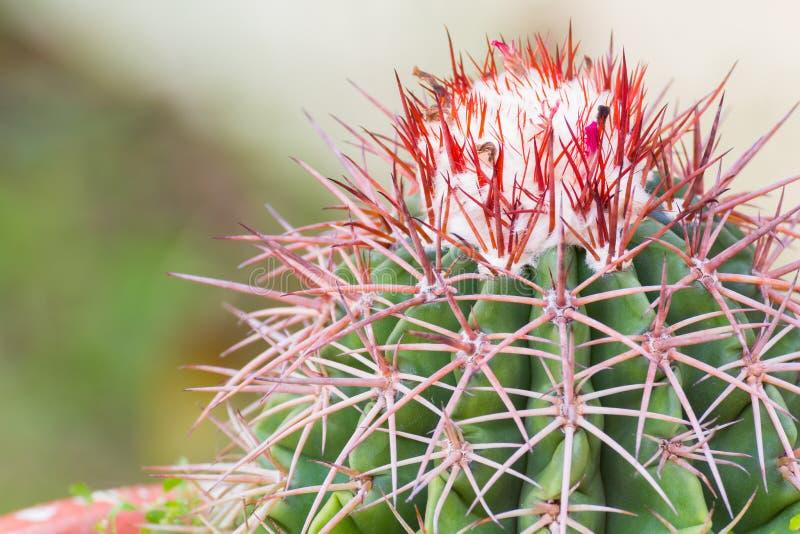Feche acima do cacto da flor no jardim imagens de stock royalty free