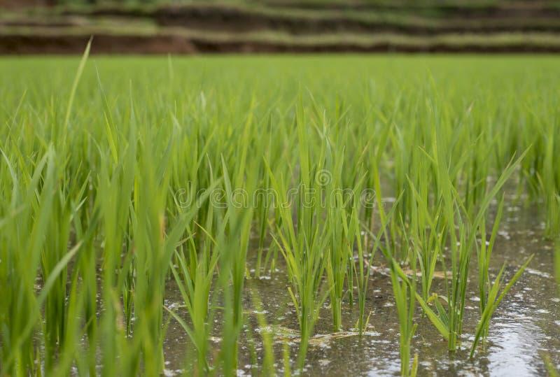 Feche acima do campo do arroz em Pleiku fotos de stock