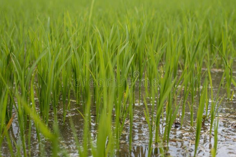 Feche acima do campo do arroz em Pleiku imagem de stock