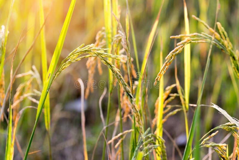 Feche acima do campo do arroz do verde amarelo fotos de stock royalty free