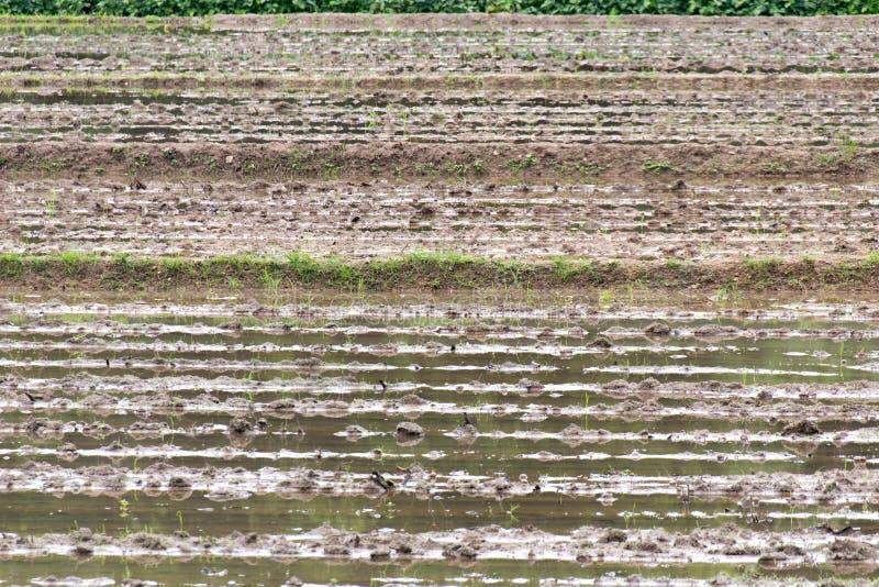 Feche acima do campo cultivado do arroz da área para preparar o arroz em Tailândia foto de stock