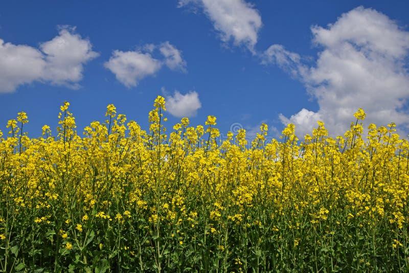 Feche acima do campo da colza sob o céu azul nebuloso fotos de stock royalty free