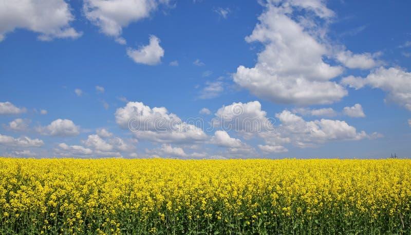 Feche acima do campo da colza sob o céu azul nebuloso imagens de stock